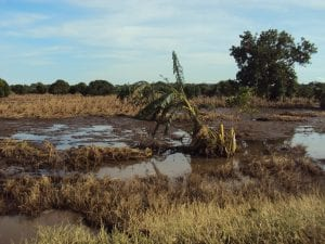 A flooded maize field