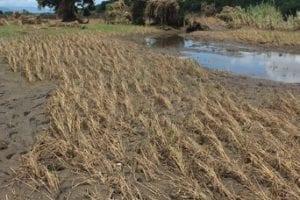 Devastated maize field
