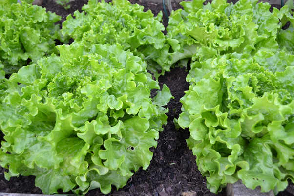 lush green lettuce, fresh veg is one of the best reasons to grow organic