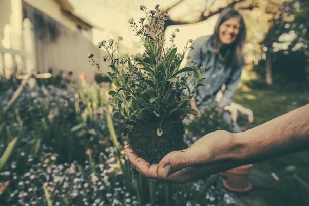 transplanting a flowering sage plant