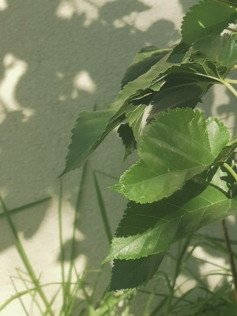 Close-up of a green leaf, with its tree's shadow playing on a wall in the background