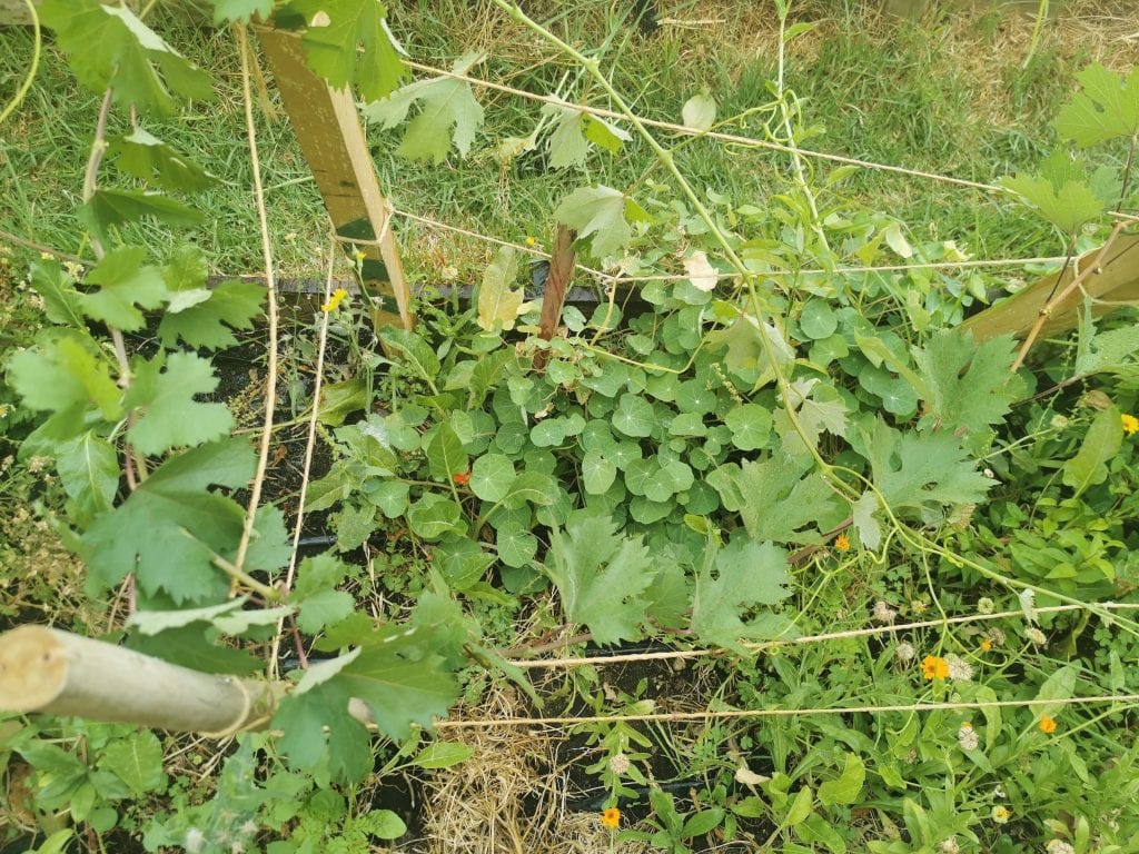 zapallo and grape leaves