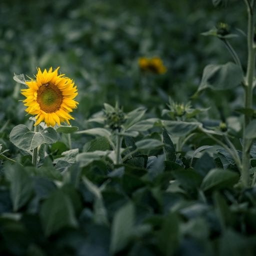 A sunflower rising up in a green field with the background dark and blurry