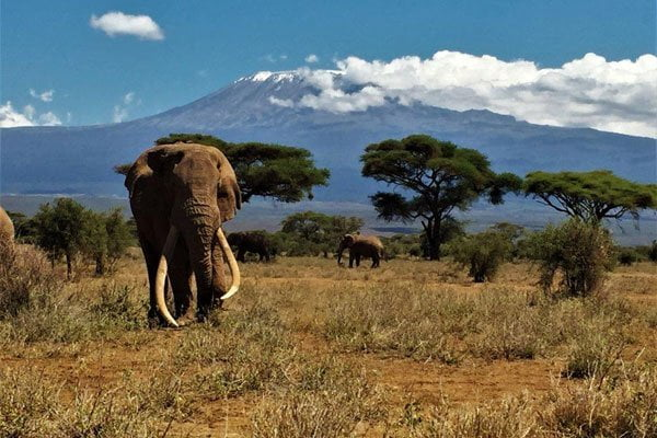 Majestic Tim strolls through Amboseli National Park, with other elephants in the distance