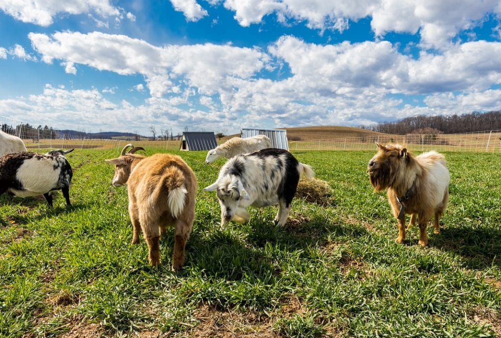 livestock on a green field