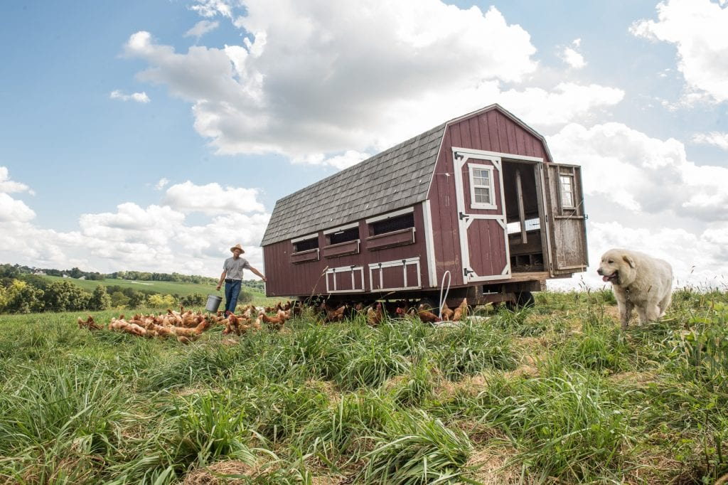 Mobile chicken shed, with farmer feeding free ranging chickens