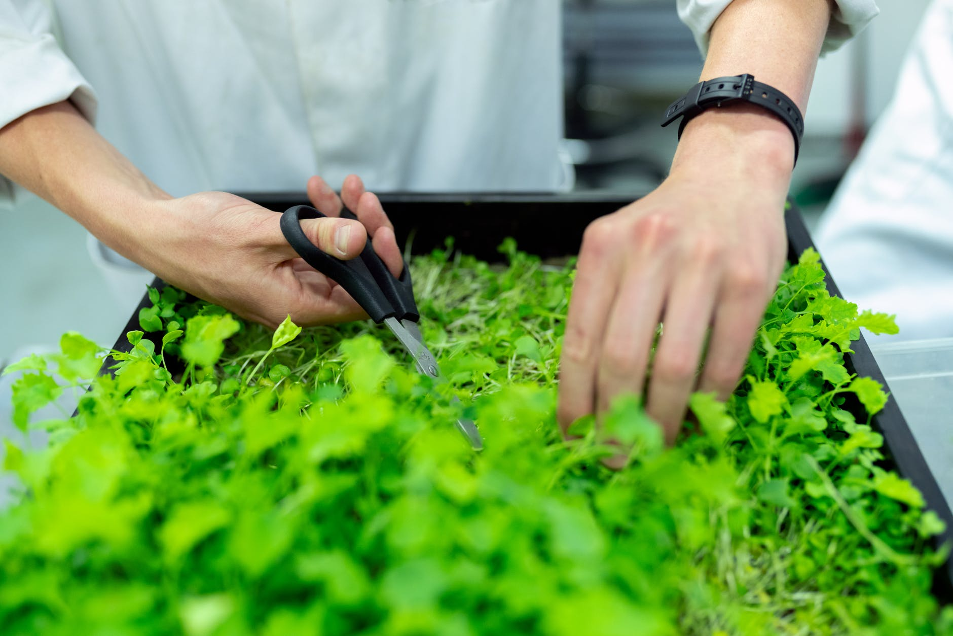 person holding black scissors and trimming greens, practising living sustainably during this pandemic