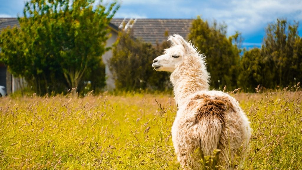 shallow focus of white llama
