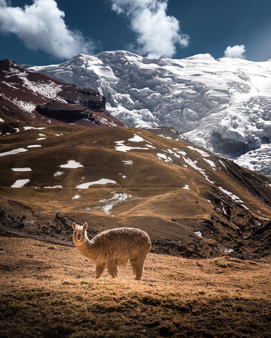 photo of llama during daytime