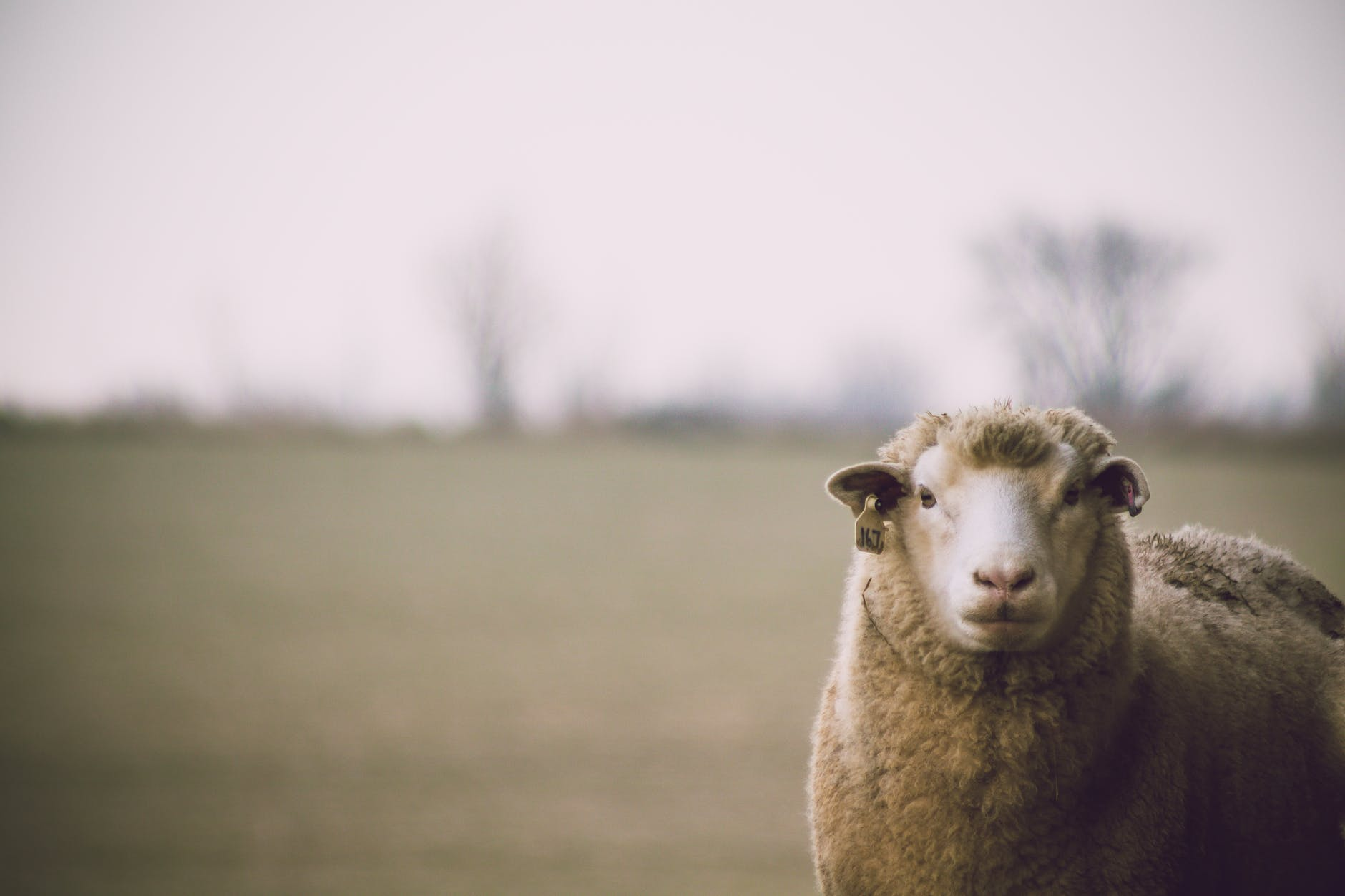 shallow focus photography of sheep, sustainable fabric