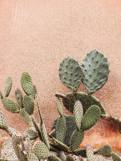Cactus can be used for vegan leather