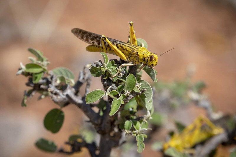 locust eating