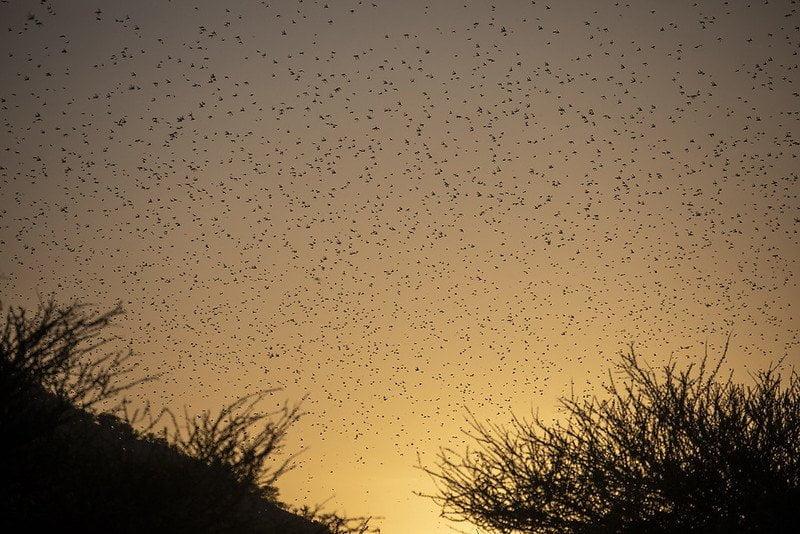 locust plague in sky at dusk