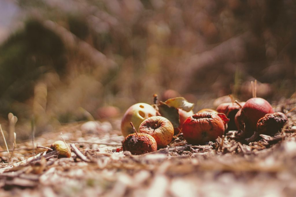 The way we eat: rotting apple in the forest