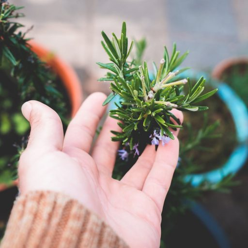 crop unrecognizable gardener touching lush potted rosemary