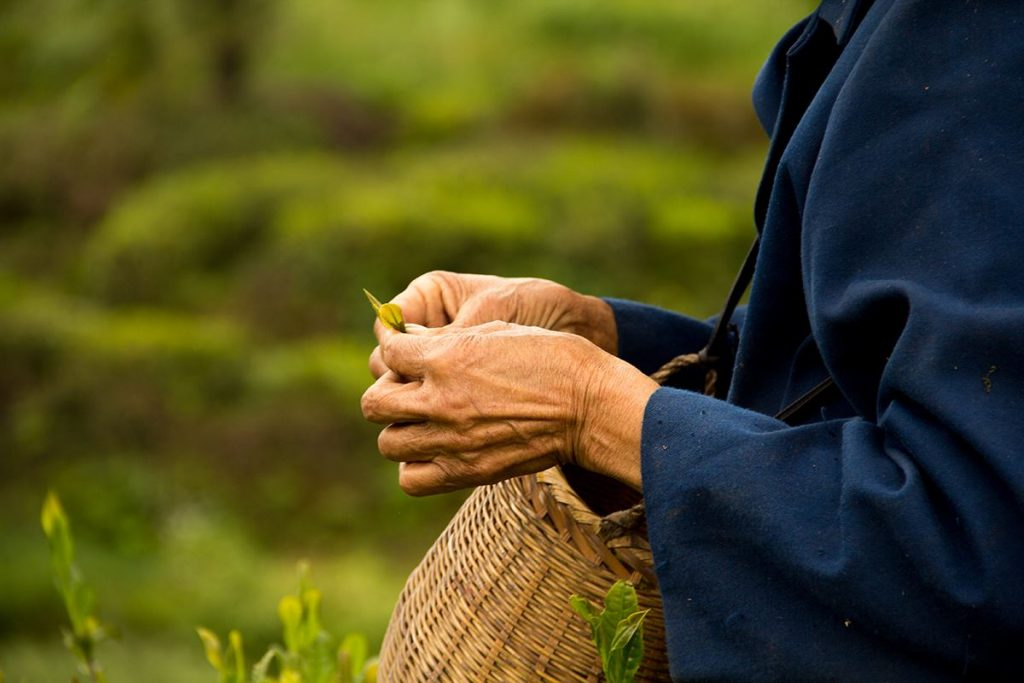 tea pickers hands up close holding tea leaves and basket