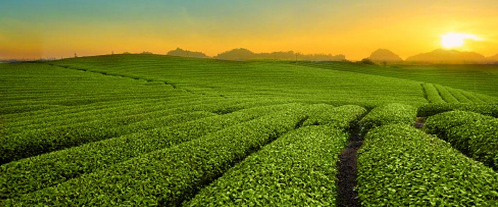 Rolling green tea hills at sunset