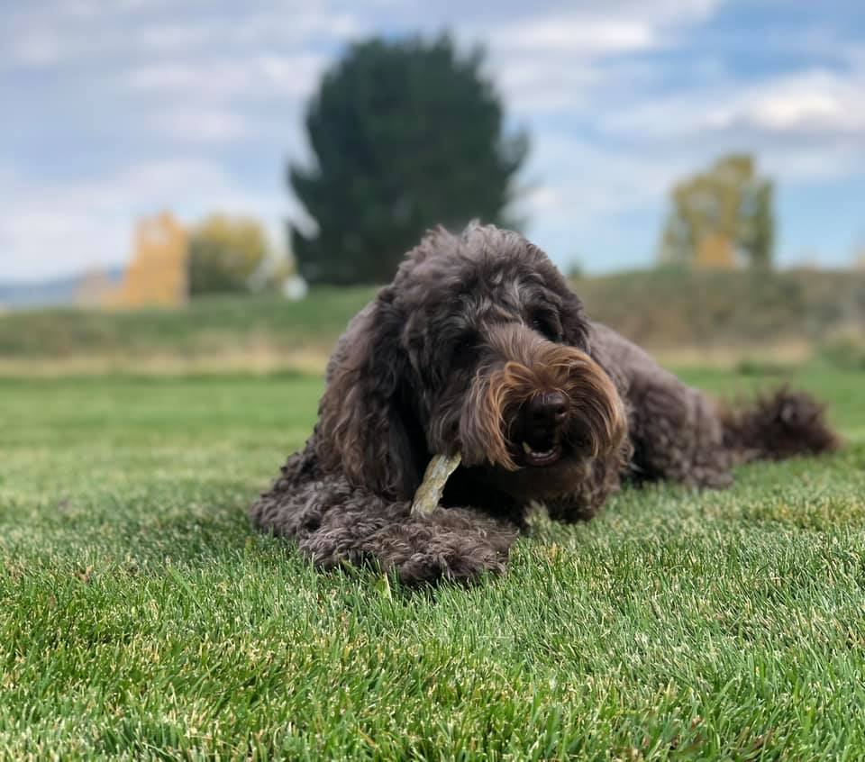 furry black dog eating bone on grass