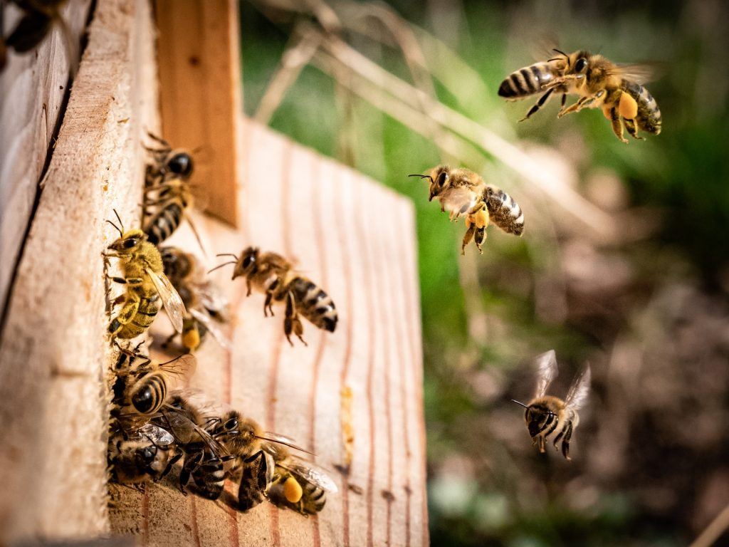 Bees flying around entrance to hive